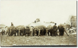 1908 postcard view of elephants from the Wallace-Hagenbeck Shows at Peru, Indiana. They appear to be erecting or taking down a circus tent. There are horses in the view as well.